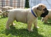 Cachorros bullmastiff gruesos.