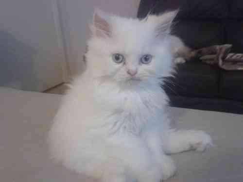 Adorables blancos hembras y machos persas gatitos
