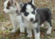 Cachorros de siberian huskies
