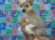Vendo exclusiva cachorra crestado chino hairless (sin pelo)