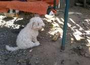 Perrito poodle perdido