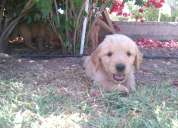 Vendo hermosos cachorros golden retriever