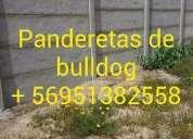Panderetas de bulldog 952382558 concepción