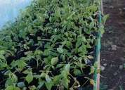Se vende planta de frambuesa brote etiolado con certificación sag