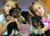 Cachorros yorkies terrier para la adopción