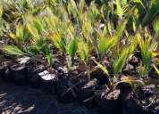 Palmeras abanico (washingtonia robusta)