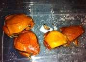 En venta rana tomate, santiago de chile