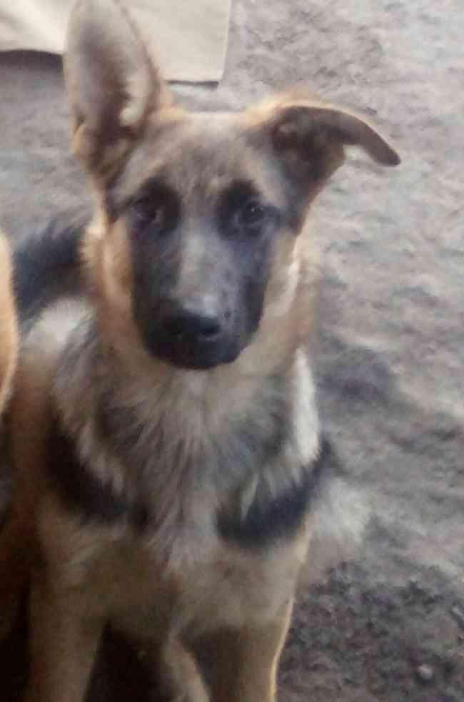 perro CACHORRO pastor alemán perdido en Lampa estación colina - lo pinto