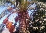 Vendo palmera chilena