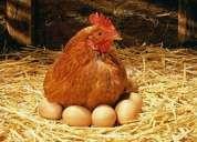 Alimento gallinas ponedoras 100%  natural