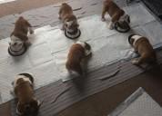 Preciosos cachorros de bulldog ingles pura raza