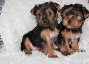 Hermosos yorkshire terriers cachorros