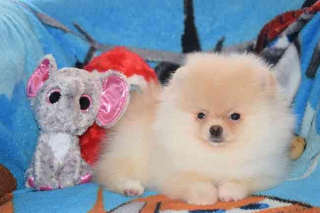 Regalo Cachorros Pomerania Para Adopción Regalo ex