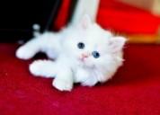 Blanco especial interiores impresionantes gatitos