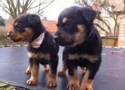 Rottweilers negro y marrón/babaracrack@gmail.com