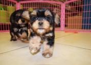 Perritos de yorkshire terrier listo para venta