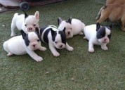 Cachorros de raza pura bulldog francés.