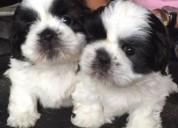 Hermosos cachorros de shih tzu imperiales