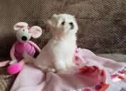 Cachorros malteses criados en casa para realojamie