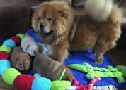 Chow chow cachorros para adopcion