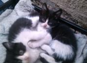 Gatitos regalones buscan adopcion urgente