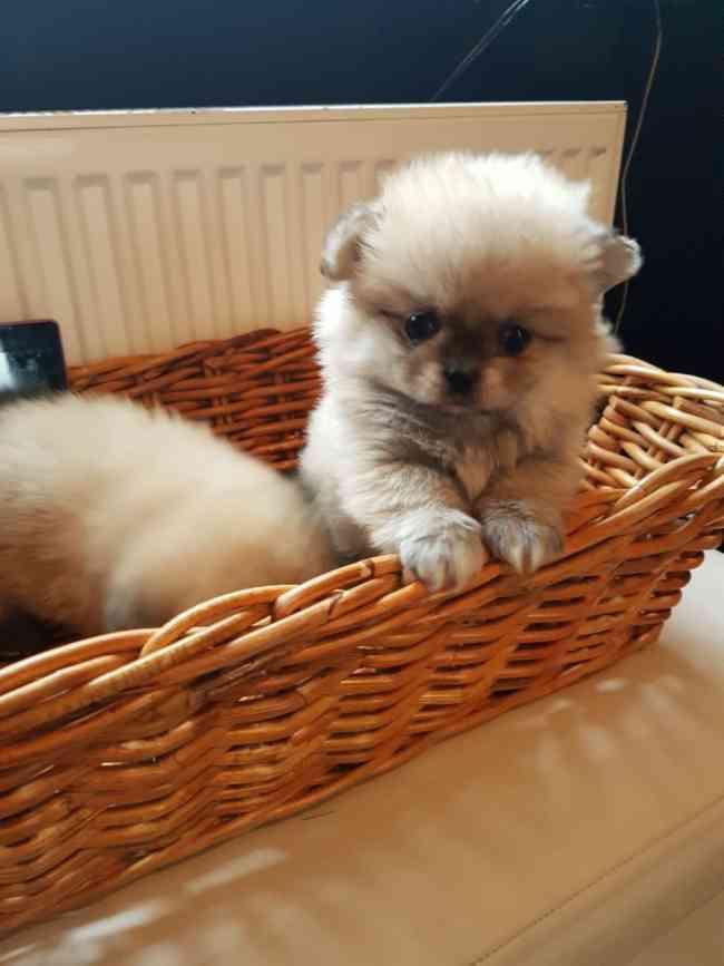 Hermoso peluche de Pomerania para adopción