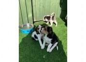 Preciosos cachorros beagle en venta
