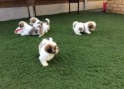 Cachorros shih tzu disponibles para adopción,