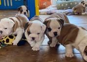 Cachorros de bulldog inglés macho y hembra para