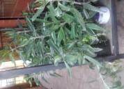 Vendo hermosas plantas de kalanchoe, 3.000 pesos