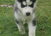 Pomsky cachorros para venta