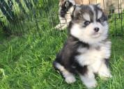 Pomsky y huskies cachorros