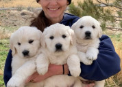 Preciosos cachorros de golden retriever