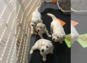 Adorables cachorros de golden retriever