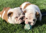 Cachorros de bulldog inglés de calidad akc para ad