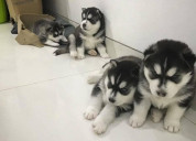 X juguetones cachorros de husky siberiano