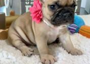 Adorable french bulldog para la reubicación