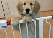 Adorable golden retriever for the adopte