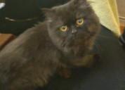 Gatito persa encontrado, se busca dueños