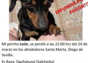 Se busca perrito dachshound (salchicha) extraviado