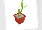 Mini lucky bamboo - regalos corporativos ecológico