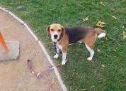 Perrito beagle perdido